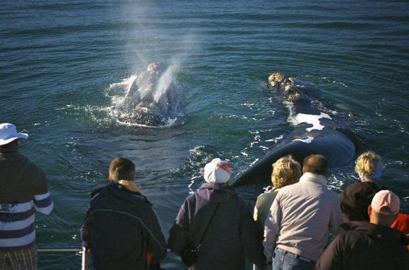 Enjoy up close interactions with whales in Hermanus.