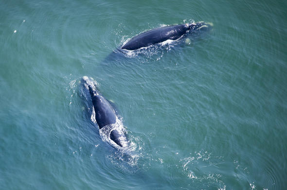 Spot Southern Right Whales in Walker Bay and Hermanus.