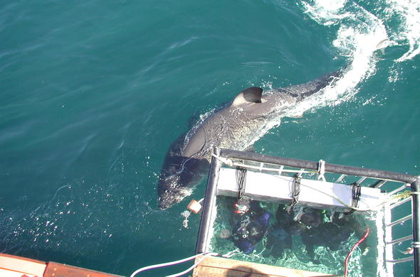 Shark Cage diving in South Africa.