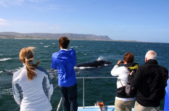 Whale Watching in Hermanus by boat.